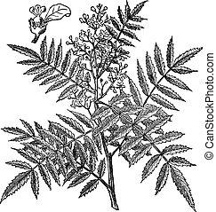 schine, morbido, (schinus, molle), vendemmia, engraving.