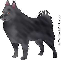 Schipperke - dog breed