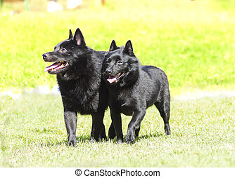 Schipperkes - Two young, healthy, beautiful, black...