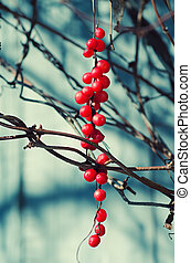 Schisandra berries against wooden blue desk, autumn natural...