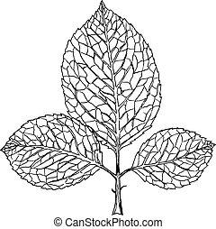 schizzo, fondo, foglie, isolato, mano, ramo