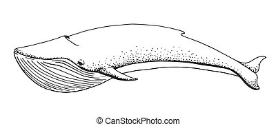 schizzo, isolato, fondo., vettore, illustrat, balena, bianco