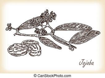 schizzo, jojoba, illustrazione, mano, vettore, branch., disegnato, stile