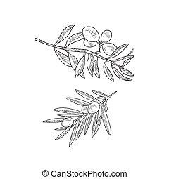 schizzo, rami, due, mano, realistico, oliva, disegnato