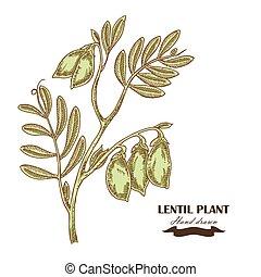 schizzo, stile, illustrazione, mano, vettore, disegnato, lenticchia, plant.