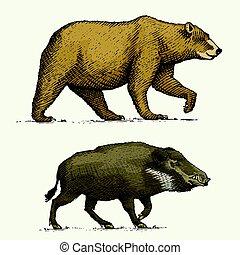 schizzo, vecchio, vendemmia, grizzly, maiale, selvatico, disegnato, verro, animali, mano, inciso, o, stile