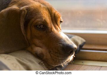 schläfrig, beagle