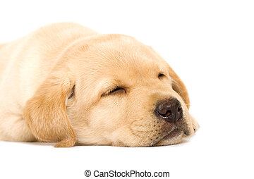 schläfrig, junger hund, labradorhundapportierhund