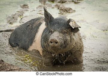 schlammig, schwein