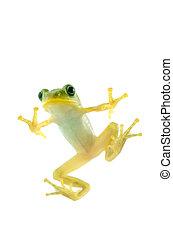 Schlegel's green tree frog - Animal series Schlegel's green...