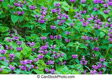 schleichen, maculatum, purpurne blumen, lamium, pflanze, groundcover