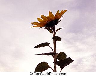 schließen, ansicht, von, a, ledig, sonnenblume, gegen, der, hintergrund, von, dramatisch, sonnenuntergangshimmel