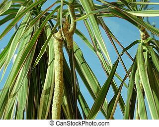 schließen, ansicht, von, palme blätter, gegen, der, hintergrund, von, der, blauer himmel