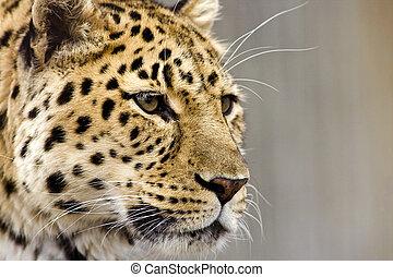 schließen, leopard, auf