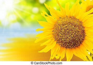 schließen, sonnenblume, auf, hintergrund