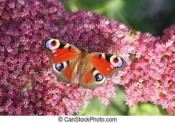 Schmetterling - Tagpfauenauge auf einer Herbstbl?te