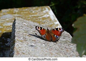 Schmetterling Tagpfauenauge - Tagpfauenauge auf Steinmauer