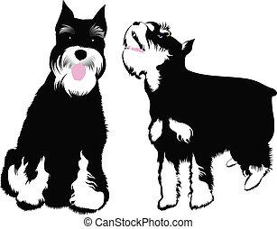schnauzer, ミニチュア, 犬