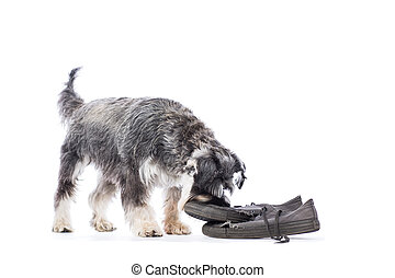 Schnauzer chewing a pair of old shoes