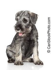 schnauzer, Chiot, norme