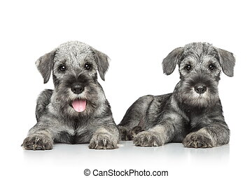 schnauzer, Chiots, norme