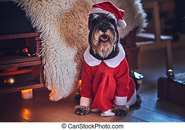 Schnauzer dog dressed in Christmas clothes in a loft interior room with Xmas decoration.