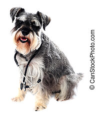 Schnauzer dog posing with stethoscope