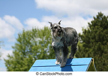 Schnauzer doing dog agility