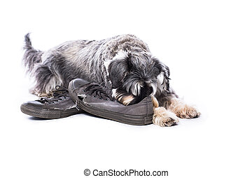 Schnauzer guarding a pair of old shoes