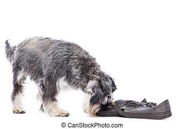 Schnauzer investigating a pair of shoes