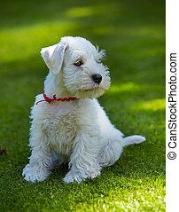 Regalo schnauzer miniatura blanco