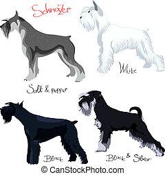 schnauzer, purebred, différent, ensemble, couleurs, vecteur, chiens