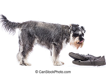 Schnauzer standing over a pair of old shoes