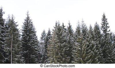 schnee, fallender , hintergrund, von, grün, tannen