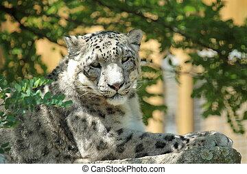 schnee, leopard's, basierend
