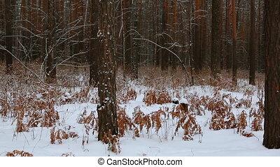 schneebedeckt, winter, kiefernwald