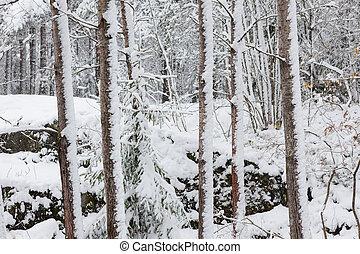 schneebedeckte , baumstämme, in, wald