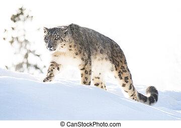 schneeleopard, in, der, winter