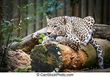 schneeleopard, irbis, (panthera, uncia), voran schauen