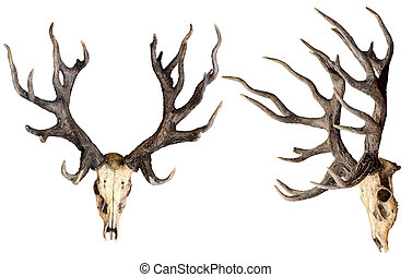 Schomburgk's deer head skull isolated on white background with clipping path, Extinct animal