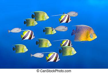 school, concept, grote vis, -, tropische , bewindvoering, toonaangevend, vissen