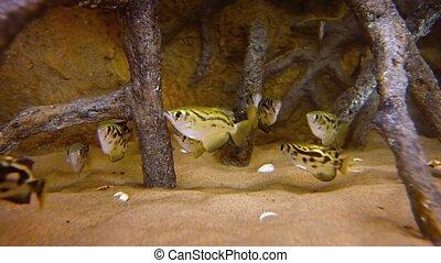 School of Archerfish in a Public Aquarium. Video