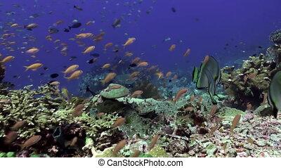 School of blue fish in the clean sea reef.