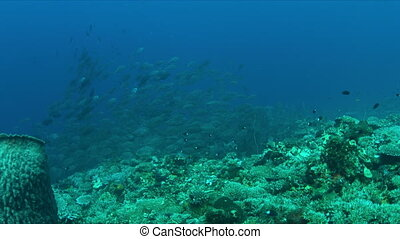 School of Blue Trevallies on a coral reef.