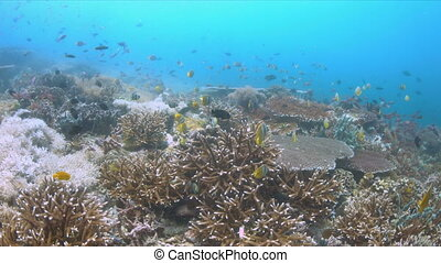 School of Butterflyfish on a coral reef. Many Anthias, Damselfishes and Crecent Wrasses