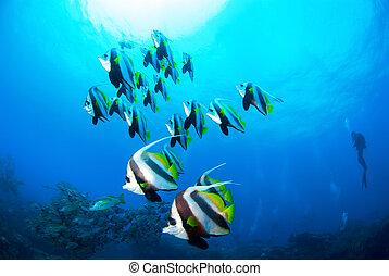 School of Coachmen fish and Diver