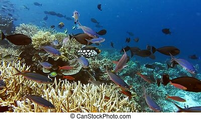 School of coral fish, Clown and Black triggerfish near hard...