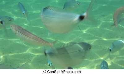 School of fish in the Aegean Sea.
