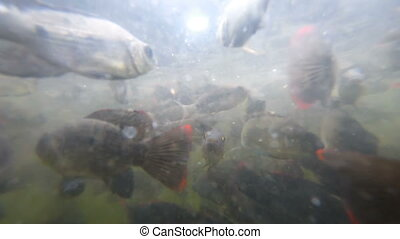 School of fish in troubled waters - School of freshwater...