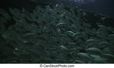 School of fish on background of bottom at night underwater.